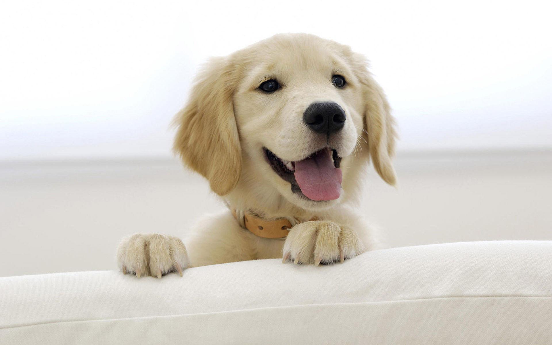 Chiot golden retriever perspicace regarder des photos de chiens en ligne pour votre bureau - Golden retriever gratuit ...